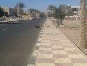 صور.. الكلاب الضالة تزعج أهالى حى الزهراء فى طور سيناء والأهالى يستغيثون