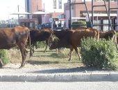 """صور.. الأبقار الضالة تحاصر مدينة الإنتاج وما تصلحه """"البيئة"""" يفسده """"العرب"""""""