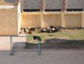 صور .. اضبط مخالفة .. الماعز ترعى بفناء مدرسة بكفر الشيخ
