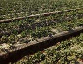 """صور..""""الزراعة"""" تنهى المرحلة الأولى من مكافحة """"العنكبوت الأحمر"""" فى الفراولة"""