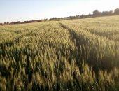 كيف نفذت الحكومة خطتها لزيادة المساحات المنزرعة من القمح × 10 معلومات