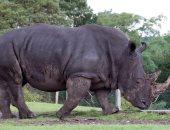 استمرار تراجع أعداد وحيد القرن فى جنوب أفريقيا جراء الصيد