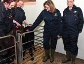 """بيل جيتس يمول أبحاثا جينية لتطوير """"أبقار مثالية"""" لإنتاج المزيد من الحليب"""
