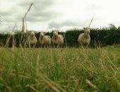 لوقف التغير المناخى.. بريطانيا تقرر خفض عدد الأبقار والأغنام