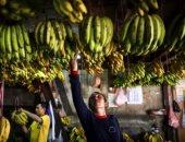 انخفاض أسعار الموز بسوق الجملة فى العبور .. تعرف عليها