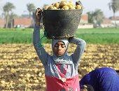 """خطة """"الزراعة"""" لزيادة إنتاج البطاطس المحلى لـ6 ملايين طن × 9 معلومات"""
