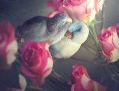 صور..  فلانتين بجمال الطير.. قصة حب واقعية بين ببغاوين تأخذ العقل