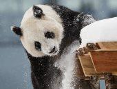 إطلاق مسابقة عالمية لتسمية أربعة من حيوان الباندا فى الصين