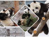 """الباندا """"لومى"""" تلعب بالثلج خلال افتتاح حديقة حيوان فى فنلندا"""