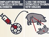ديلى ميل: إنشاء هجين جديد بين البشر والأغنام يساهم فى زراعة الأعضاء
