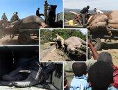 كينيا تنقل عشرات الفيلة المهددة بالانقراض إلى حدائق خاصة