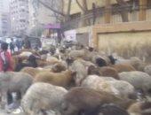 رئيس مدينة مرسى يصدر قرارًا بحظر مرور قطيع الماشية بالشوارع