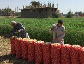 الزراعة: ارتفاع صادرات البصل لـ68 ألف طن.. وتكثيف اللجان بمواقع التصدير