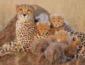 لحماية القطط الكبيرة من الانقراض.. إحياء اليوم العالمى الحياة البرية غدا