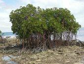 دراسة: غابة أشجار المانجروف مهددة بالانقراض
