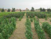 """""""البحوث الزراعية"""" ينجح فى استنباط أصناف من """"الكينوا"""" لتعزيز الأمن الغذائى"""