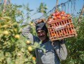 الزراعة تعلن طرح محصول الطماطم من 8 مناطق لزيادة المعروض وتقليل الأسعار