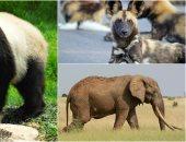 قوم اطمن على حيواناتك.. الباندا والفيل والكلب البرى الأفريقى مهددين بالانقراض