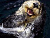 الثعلب الضاحك وخيار البحر.. تعرف على أشهر الكائنات المهددة بالانقراض