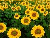 دخول شركتين بسوق كسب عباد الشمس وتراجع الواردات 13٪ بسبب المخزون