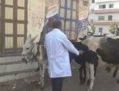 بدء تحصين الماشية ضد مرض الحمى القلاعية وحمى الوادى المتصدع بقرى مركز فوه