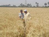 """""""الزراعة"""" تؤكد ارتفاع مساحات القمح المنزرعة لـ1.5 مليون فدان"""