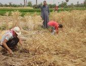 استلام الدفعة الأولى من الأقماح بالوادى الجديد وصرف 50 ألف جوال للمزارعين