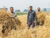 دواوين الوزارات × 24 ساعة.. شراء 2.6 مليون طن قمح من المزارعين خلال 30 يوما