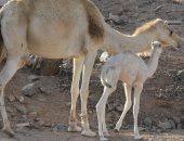 السعودية: الحيوانات تسببت فى 355 حادثة مرورية ووفاة 44 شخصا