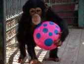 كل سنة وإنت طيب يا دودو.. أشهر شامبانزى بحديقة الحيوان يحتفل بعيد ميلاده