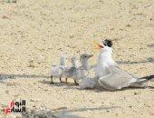 صور.. 5 آلاف طائر و850 نوعا من الكابوريا فى موسم الهجرة للتزاوج بالبحر الأحمر