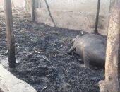 نفوق 6 رؤوس ماشية فى حريق داخل حظيرة بالسنطة
