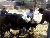 تحصين وترقيم 63 ألف رأس ماشية ضمن الحملة القومية ببنى سويف