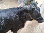كل ما تريد معرفته عن أسباب إصابة الأبقار بمرض الجلد العقدى × 5 معلومات