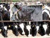 الزراعة: تحصين 400 ألف رأس ماشية ضد الجلد العقدى وجدرى الأغنام خلال ثلاثة أيام
