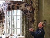 فيديو وصور.. آلين دى جنيريس مع الزراف فى Giraffe Manor بكينيا