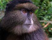 باحثون يطورون نظاما للتعرف على الوجه لحماية القرود من الانقراض