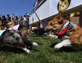صور.. انطلاق ماراثون سباق كلاب الكورجى فى كاليفورنيا الأمريكية