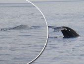البيئة تطمئن المواطنين: ظهور الحوت بالقرب من الساحل الشمالى طبيعى