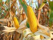 """""""الزراعة"""": برامج توعية لمزارعى الذرة لزيادة المساحات والحد من الاستيراد"""