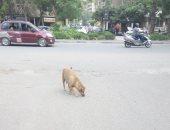 قارئ يشكو من انتشار الكلاب الضالة بشارع البوهى فى منطقة إمبابة