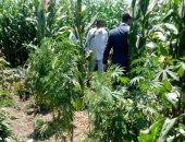 ضبط مزرعة بداخلها أكثر من 500 شجرة بانجو خلف محطة مياه فى مدينة إسنا
