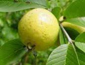 مش بس لعلاج الكحة.. اعرفى فوائد أوراق الجوافة لشعرك وكيفية استخدامها