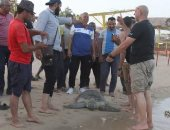 صور.. انقاذ الترسة الخضراء بمطعم سمك بالسويس وعلاجها وإعادتها للمياه
