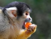 القرود تتغلب على حرارة الجو بالمثلجات فى لندن