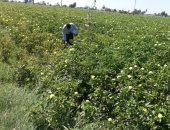 """صور.. """"الزراعة"""": لجان مرورية على محصول القطن لمكافحة الآفات وزيادة الإنتاج"""