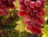 """""""المحاصيل الزراعية"""" تحدد 4 توصيات لزيادة إنتاج العنب ومكافحة الحشائش"""