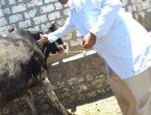 صور.. استمرار أعمال الحملة القومية لتحصين الماشية ضد الحمى والمتصدع
