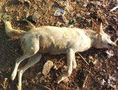 صور.. ماذا فعلت محافظة السويس للقضاء على ذئاب هاجمت سكان قرية محمد عبده؟