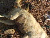 الطب البيطرى بالسويس يعلن انتهاء خطر الذئاب وقتل 50 كلب ضال مسعور